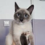 Голубоглазый котёнок Симба, Новосибирск