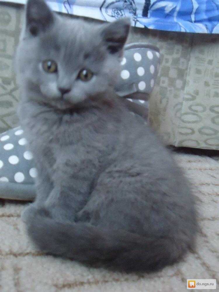 Котята серого цвета фото
