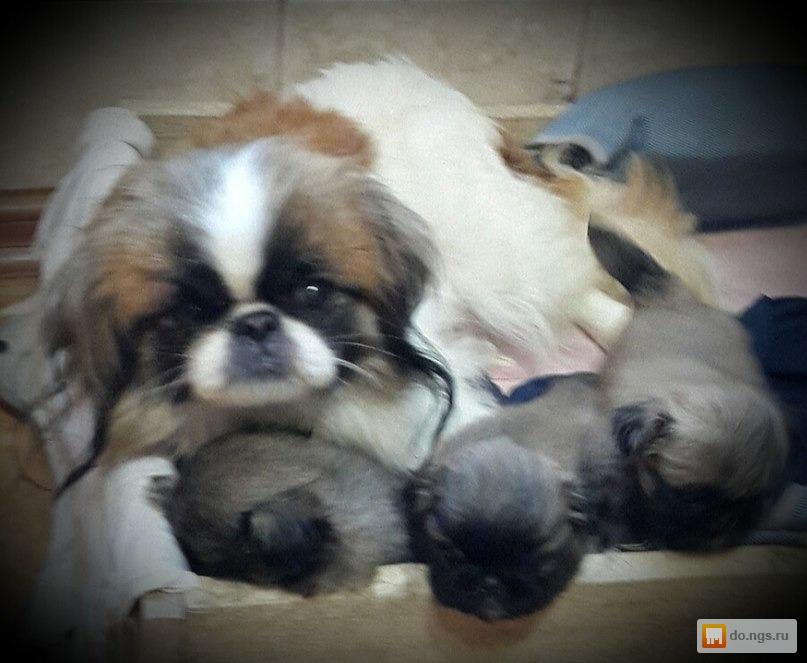 фото щенка пекинеса в три недели всех