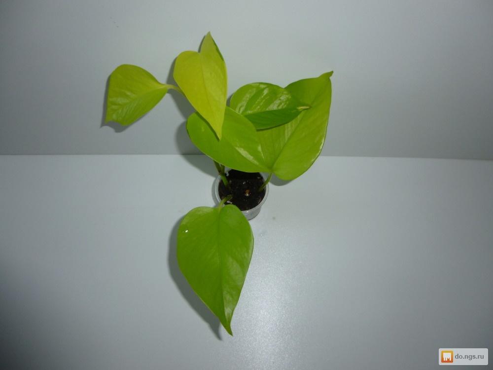 Комнатные растения в интернетмагазине Коллекция Цветов