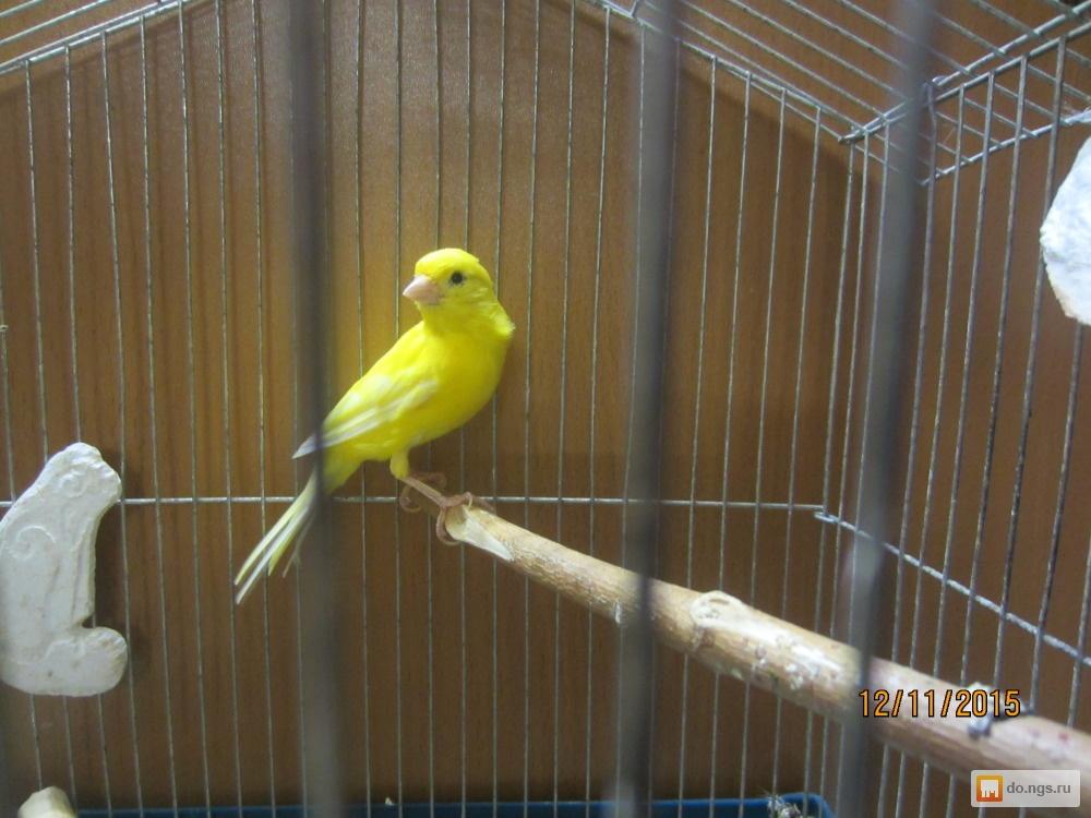 Фото желтой канарейки