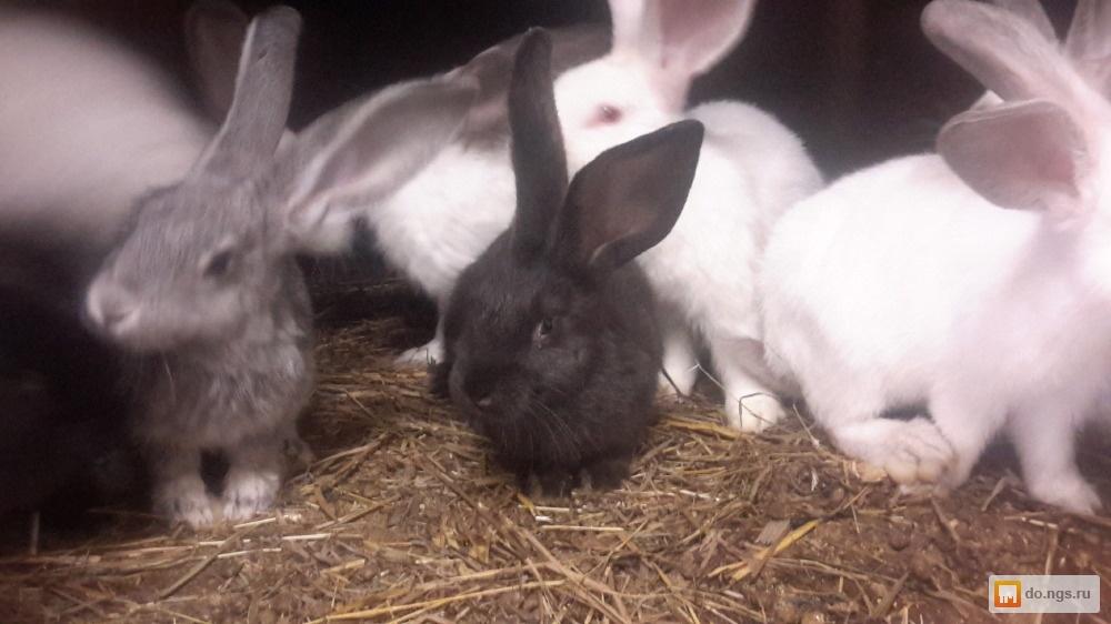 продажа кроликов в новосибирске на авито парни