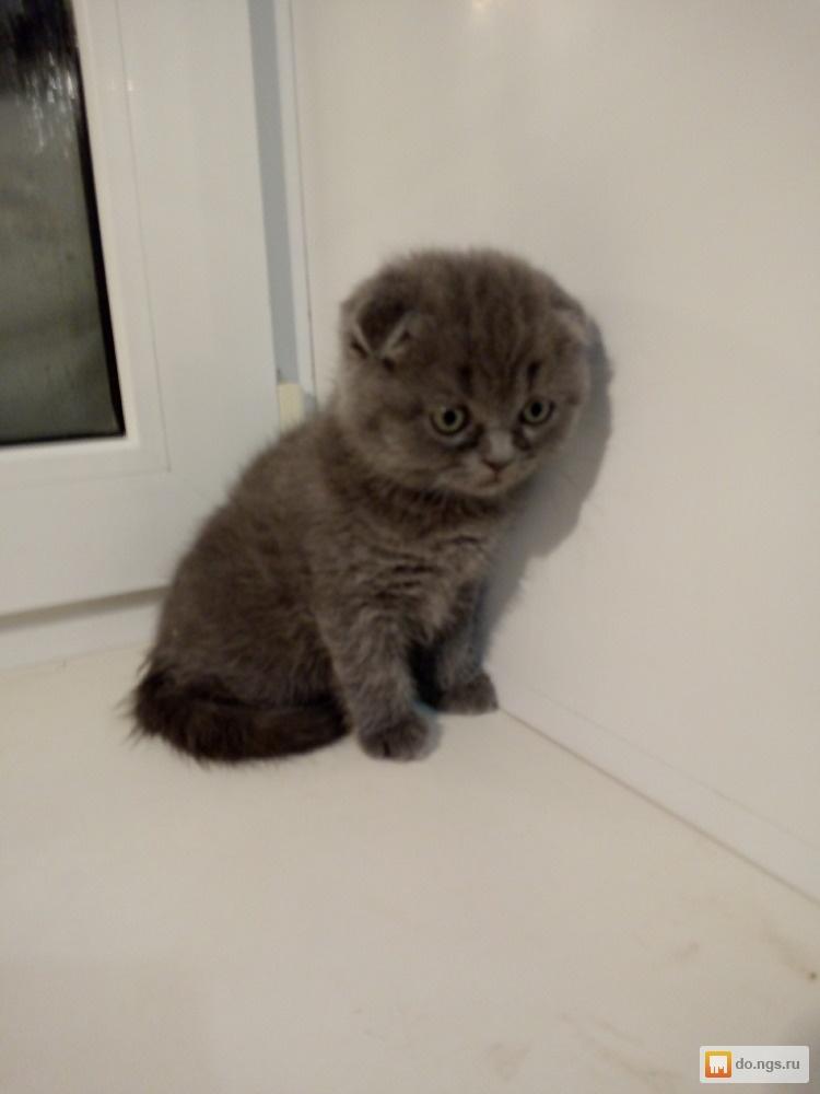 сразу котята шотландские вислоухие в грязи фото снялся