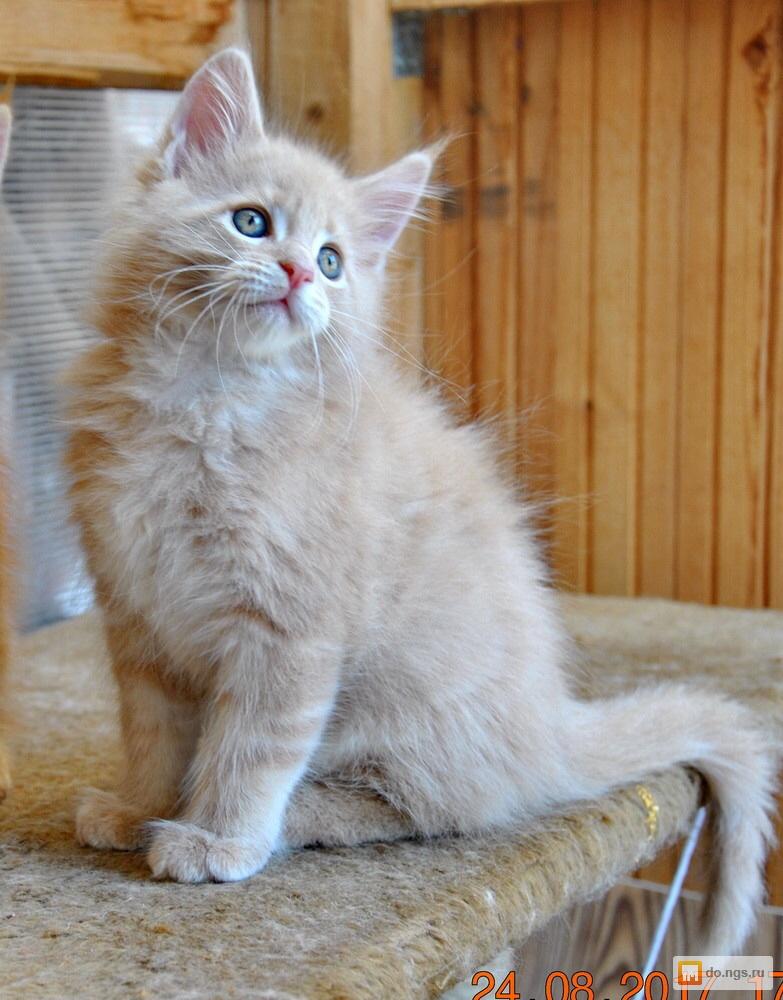 кремовый мейн кун фото котенок поют