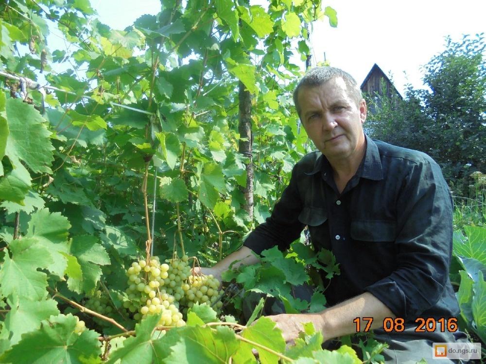 рассказам очевидцев, саженцы винограда в новосибирске фото оттенки
