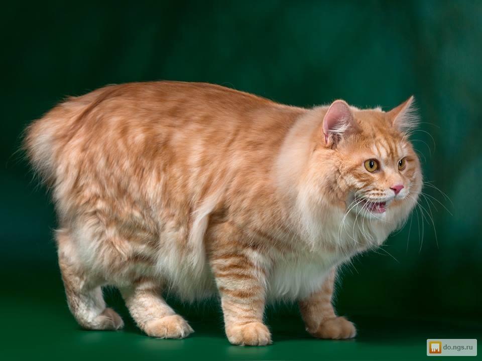 размере бобтейл коты характер помощью
