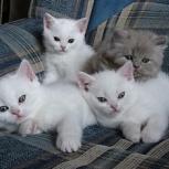 Белые котята, 2 мальчика и девочка, Новосибирск