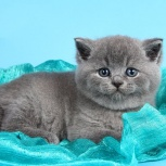 Голубые и лиловые британские котята, Новосибирск