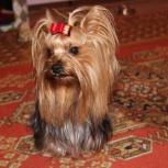 йоркширский терьер собака, Новосибирск