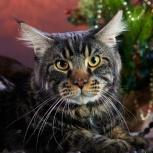 Вязка, кот черный мрамор, Новосибирск
