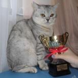 Шотландский кот страйт приглашает на вязку, Новосибирск