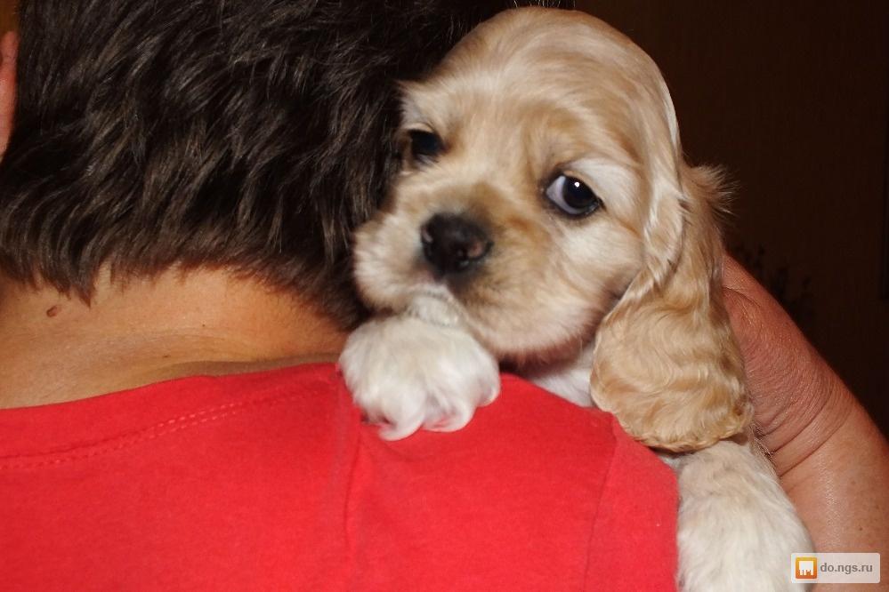Купить щенка кокер спаниеля в барнауле