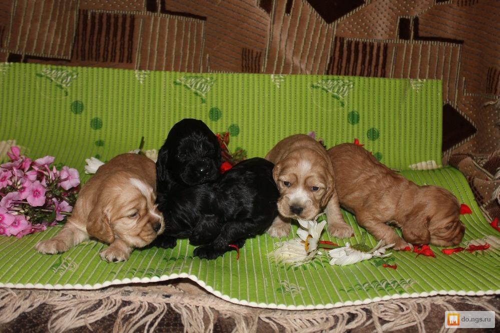 Купить щенка английского кокер спаниеля в новосибирске