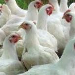c доставкой цыплята и подрощенные бройлеры 10, 15, 21, 30 день, Новосибирск