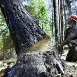 Спил снос деревьев, Новосибирск