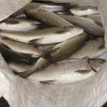Рыба хариус, Новосибирск