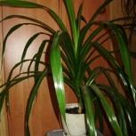 Продам пандаус (винтовое дерево) или поменяю на орхидеи, Новосибирск
