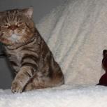 шоколадный мраморный кот приглашает кошек на вязку, Новосибирск