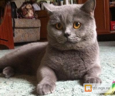 Шотландский кот на вязку новосибирск