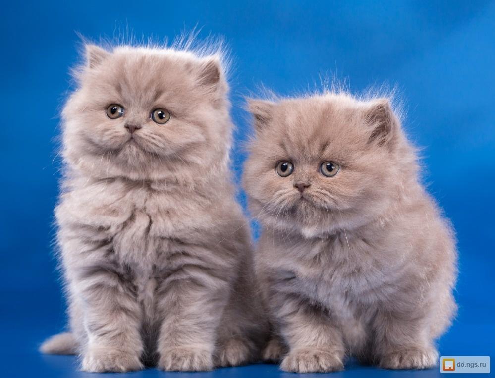 Английские котята фото