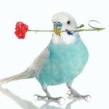 Птенец волнистого попугая (доставка по городу), Новосибирск