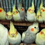 Корелла 2.5 месяца попугаи, Новосибирск