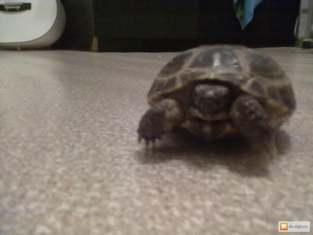 для изготовления отдам сухопутную черепаху в хабаровске вынуждены