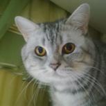 Кот британец для вязки, Новосибирск