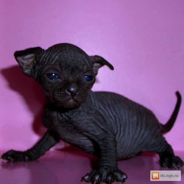 сфинксы фото черные