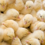 Бройлерные цыплята суточные Кобб 500 Росс 308, Новосибирск